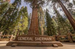 The largest tree in the world. Mr. General Sherman!