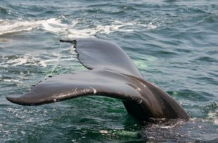Monterey Whale