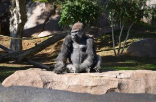 gorilla-1271700_960_720